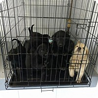 Australian Shepherd/Labrador Retriever Mix Dog for adoption in Centreville, Virginia - Lee Litter
