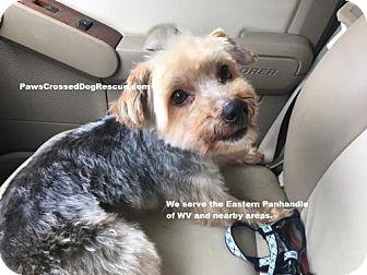Yorkie, Yorkshire Terrier Dog for adoption in Hedgesville, West Virginia - Murphy
