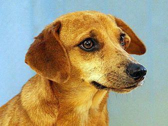 Dachshund/Beagle Mix Dog for adoption in Maynardville, Tennessee - Isabella