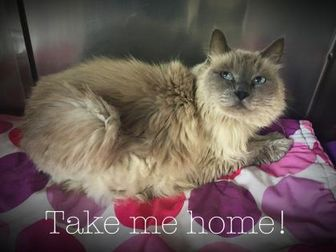 Himalayan/Domestic Shorthair Mix Cat for adoption in Spokane, Washington - Sierra