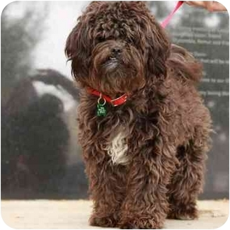 Shih Tzu/Poodle (Miniature) Mix Puppy for adoption in Denver, Colorado - Schnoodle
