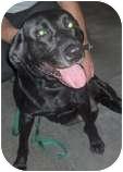 Labrador Retriever Mix Dog for adoption in Council Bluffs, Iowa - Ace