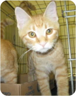 Domestic Shorthair Cat for adoption in Stillwater, Oklahoma - Delia