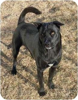 Labrador Retriever Mix Dog for adoption in Meridian, Idaho - Eli Manning