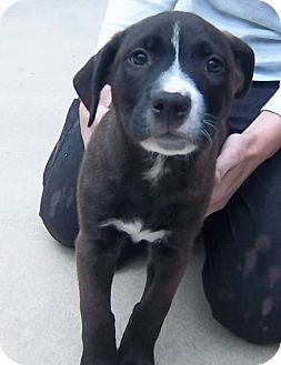 German Shepherd Dog/Terrier (Unknown Type, Medium) Mix Puppy for adoption in South Haven, Michigan - Zeke