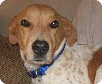 Spaniel (Unknown Type)/Brittany Mix Dog for adoption in Golden Valley, Arizona - Joey