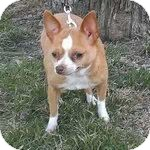 Chihuahua Dog for adoption in Downers Grove, Illinois - Mimi