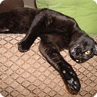 Bombay Kitten for adoption in Mission Viejo, California - Shebo