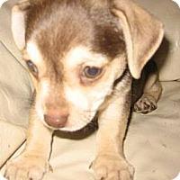 Adopt A Pet :: Scout - Chandler, AZ