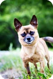 Chihuahua Mix Dog for adoption in Lowell, Massachusetts - Darla