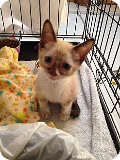 Snowshoe Kitten for adoption in Fountain Hills, Arizona - HERO