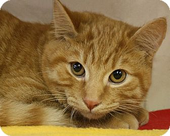 Domestic Shorthair Cat for adoption in Rochester, New York - Phineas