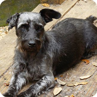 Schnauzer (Standard) Mix Dog for adoption in Old Town, Florida - Mickey