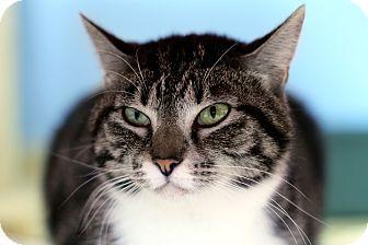Domestic Shorthair Cat for adoption in Chicago, Illinois - Sophia Loren