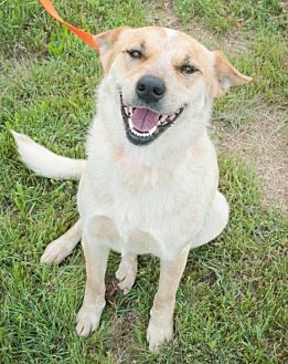 Australian Cattle Dog/Blue Heeler Mix Dog for adoption in Mineral Wells, Texas - Ginger