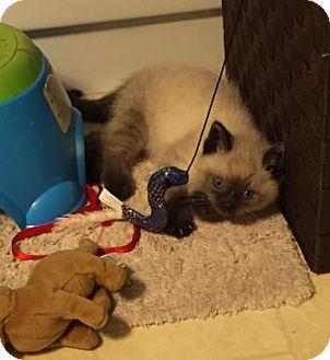 Siamese Kitten for adoption in Columbia, South Carolina - Nicholas