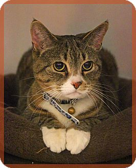 Domestic Shorthair Cat for adoption in Waterbury, Connecticut - Annabelle