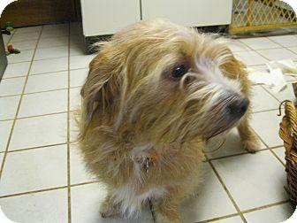 Golden Retriever/Shih Tzu Mix Dog for adoption in Wrightsville, Pennsylvania - Dalila