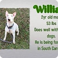 Adopt A Pet :: William - Columbia, SC