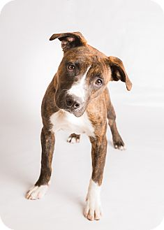 Pit Bull Terrier Mix Puppy for adoption in Hendersonville, North Carolina - Eve