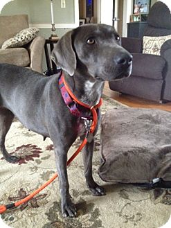 Weimaraner/Blue Lacy/Texas Lacy Mix Dog for adoption in East Windsor, Connecticut - Beauty Adoption Pending