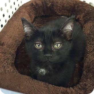 Domestic Mediumhair Kitten for adoption in Mansfield, Texas - Charm