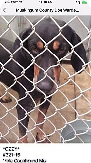 Coonhound (Unknown Type) Mix Dog for adoption in Zanesville, Ohio - Ozzy - ADOPTED!