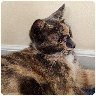 Calico Cat for adoption in Hamilton, New Jersey - AUTUMN