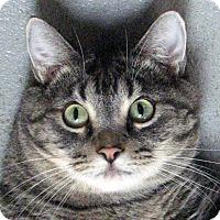 Domestic Shorthair Cat for adoption in Norwalk, Connecticut - Boop