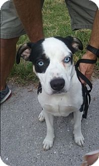 Australian Cattle Dog/Terrier (Unknown Type, Medium) Mix Dog for adoption in Boynton Beach, Florida - Kemper