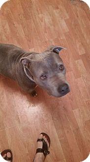 American Pit Bull Terrier Dog for adoption in Rosemount, Minnesota - Ruby