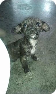 Terrier (Unknown Type, Small) Mix Puppy for adoption in Mesa, Arizona - VICTORIA
