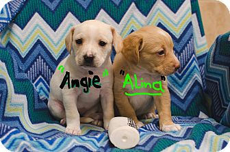 Beagle/Terrier (Unknown Type, Small) Mix Puppy for adoption in Poteau, Oklahoma - ANGIE