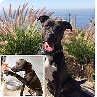 Adopt A Pet :: Hondo - santa monica, CA