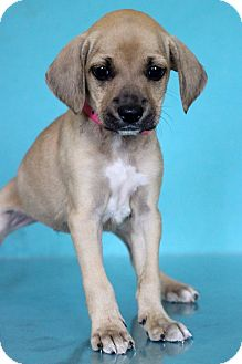 Beagle Mix Puppy for adoption in Waldorf, Maryland - Mimi