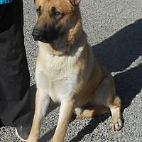 German Shepherd Dog Dog for adoption in Yucaipa, California - Landon