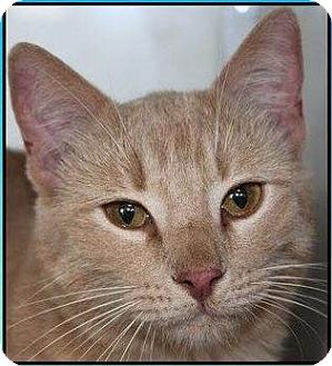 Domestic Shorthair Cat for adoption in Mansfield, Texas - Walker