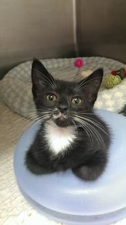 Domestic Shorthair/Domestic Shorthair Mix Cat for adoption in Hastings, Minnesota - Katie