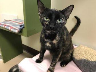 Domestic Shorthair/Domestic Shorthair Mix Cat for adoption in Greensboro, Georgia - Heidi