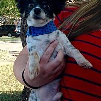 Adopt A Pet :: Koko - AUSTIN, TX