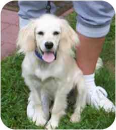 Cocker Spaniel/Setter (Unknown Type) Mix Puppy for adoption in Blackstone, Virginia - Lollipop
