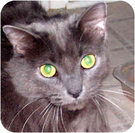 Domestic Longhair Cat for adoption in Troy, Michigan - Bianca ~URGENT