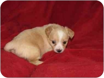 Terrier (Unknown Type, Small) Mix Puppy for adoption in Fredericksburg, Virginia - Junior