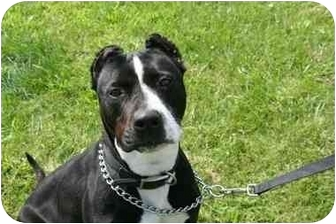 American Staffordshire Terrier Mix Dog for adoption in Islip, New York - Molly
