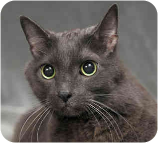 Russian Blue Cat for adoption in Chicago, Illinois - Frank