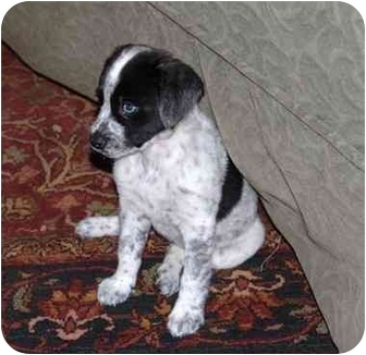 Australian Shepherd/Labrador Retriever Mix Puppy for adoption in Naperville, Illinois - Talulu IS ADOPTED