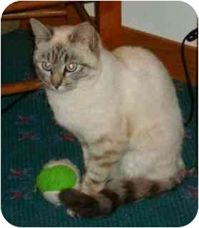 Siamese Cat for adoption in Port Republic, Maryland - Sophie
