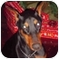 Photo 2 - Doberman Pinscher Dog for adoption in Green Cove Springs, Florida - Stormy
