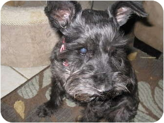 Schnauzer (Standard) Mix Dog for adoption in White Settlement, Texas - Darby