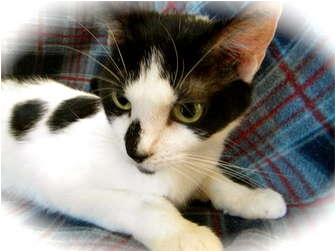 Domestic Shorthair Cat for adoption in Pueblo West, Colorado - Alley
